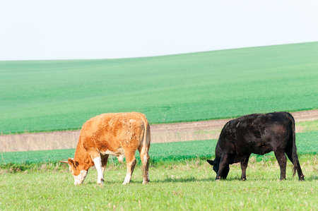 Cows grazing in green springtime field. Moravia. Czech republic. Vibrant colored outdoors horizontal image.
