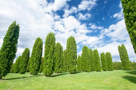 Many thuja columna trees in formal garden. Latvia. Vibrant colored summertime outdoors horizontal image. Stock Photo