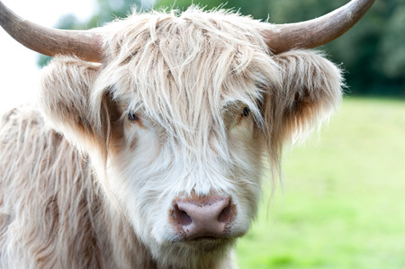 Closeup portrait of beautiful highland scottish hairy creamy cow looking in camera. Glasgow, Uk, Scotland. Colored outdoor summertime horizontal image.