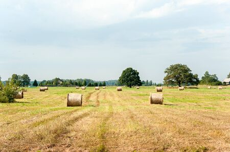 Many yellow straw balesrolls on stubble field after harvesting. Harvest time scenery. Vibrant multicolored horizontal outdoors image.
