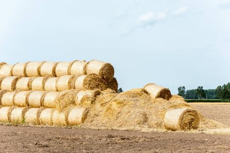Many yellow straw balesrolls on stubble field after harvesting. Harvest time scenery. Summertime outdoors horizontal colored image. Stock Photo