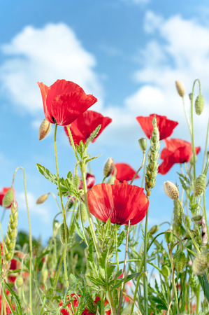 Field with red translucent poppy flowers in rays of sunlight on blue cloudy sky background. Multicolored summertime indoors vertical closeup image Фото со стока - 103474985