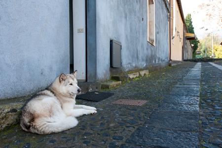 Grey malamute dog laying on asphalt road on the street near house. Outdoors horizontal image. Italy, Sicily. Reklamní fotografie