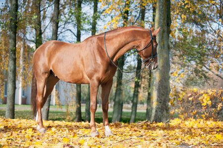 Portrait of graceful thoroughbred red horse standing on autumn background. Multicolored horizontal outdoors image with filter