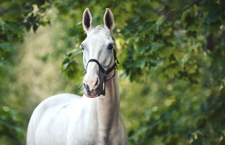 Closeup portrait of graceful thoroughbred gray horse in green park. Multicolored horizontal summertime outdoors image with filter