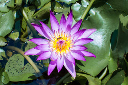 wavelet: purple lotus flower Stock Photo