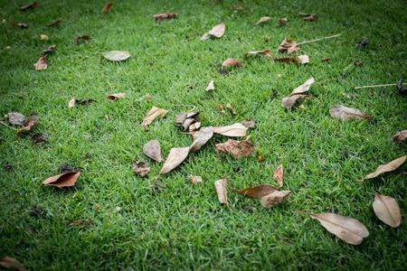 dry leaf: dry leaf on green grass