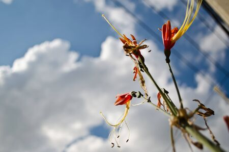 Flowers and the Sky, North-east of Thailand Stock Photo
