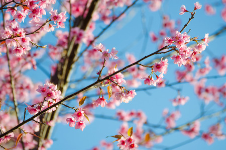 Rosa Wilde Himalaya-Kirsche mit gelben Blättern und blauer Himmel