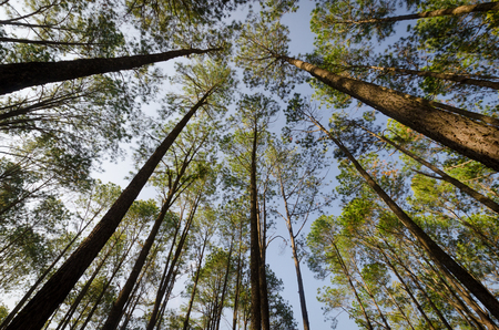 up view of the pine forest