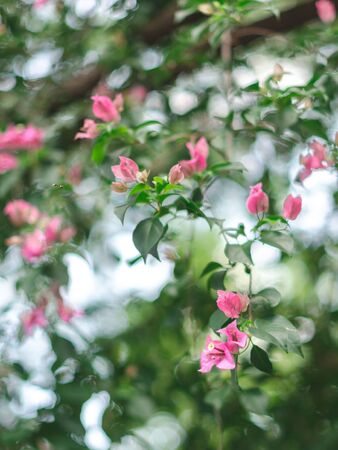 background of pink flowers with green leaves