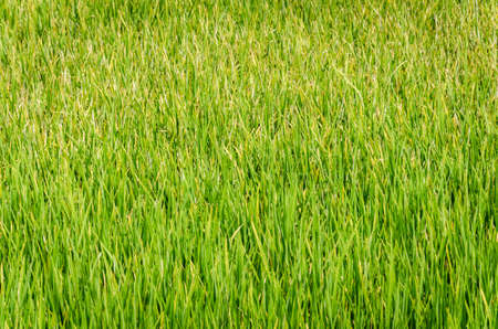 background image of green rice field in thailand Stock Photo