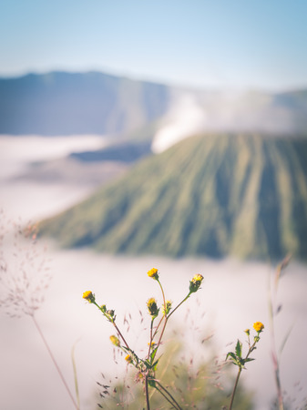 Close-up of yellow flowers with Mount Bromo as the background