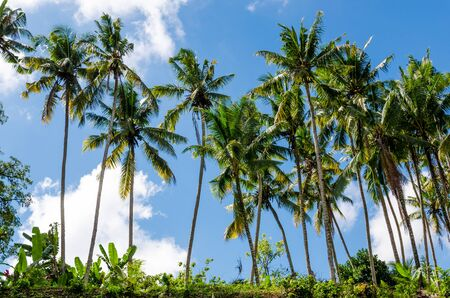 line of coconut trees with blue sky Stock Photo