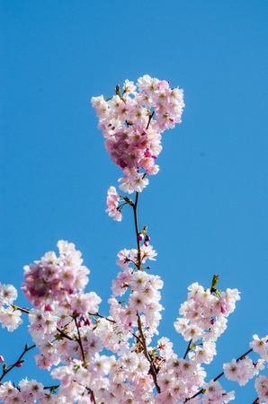Pink Wild Himalayan Cherry with yellow leaves and blue sky Stock Photo