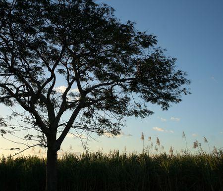 Albero silhouette nel campo della canna da zucchero. Archivio Fotografico
