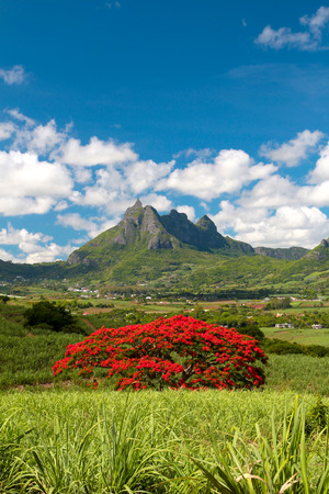 flamboyant: Blooming flamboyant tree with Pieter Both mountain as background in Mauritius