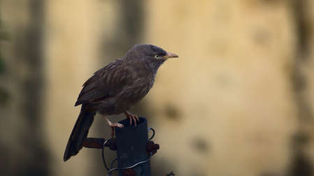 Jungle babbler or Seven Sisters bird resting on the top of pole Stockfoto