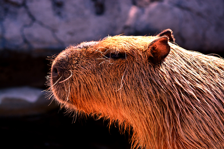 close up of capybara Imagens