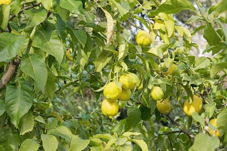 exemplary: Lemon tree with ripe lemons Stock Photo