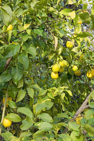 Lemon tree with ripe lemons photo