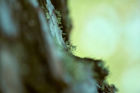 Beautiful old forest moss lichen (Cladonia rangiferina).  Macro close-up photo with copy space. Archivio Fotografico