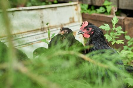 Free range hans in the farm.  Chickens walking in the farm yard. Selective focus view with soft background.