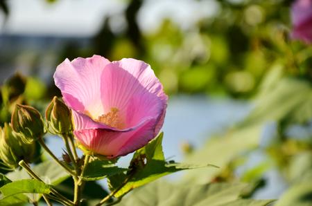 galsang flower