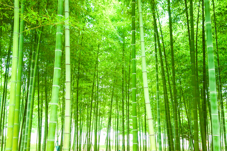 Bamboo grove landscape view