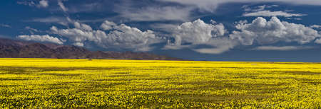 vast: vast field of yellow flowers with a mountain range on the horizon