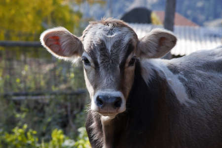 Calf looks straight into the camera Stock Photo