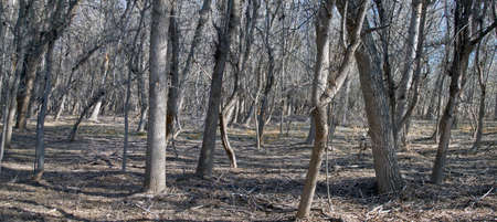 dormant: The trunks of trees in the woods in early spring