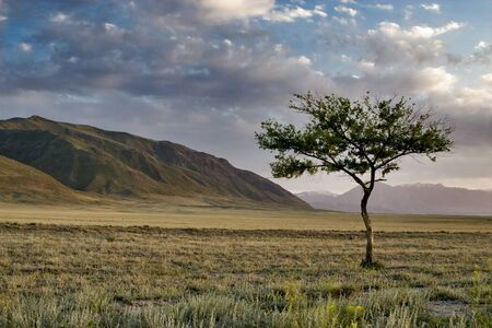 mongolia: Lonely tree in the desert at sunset