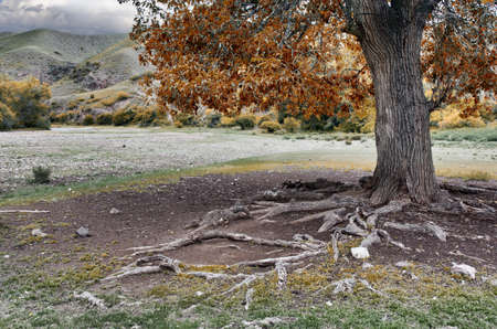 Relic from the poplar bare root in the rocky meadow Stock Photo