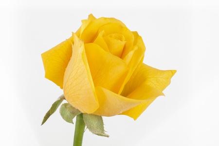 rosas amarillas: Rosa amarilla Foto de archivo