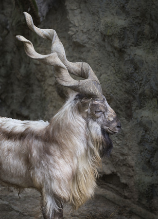 Profile portrait of a markhor with his long horns photo