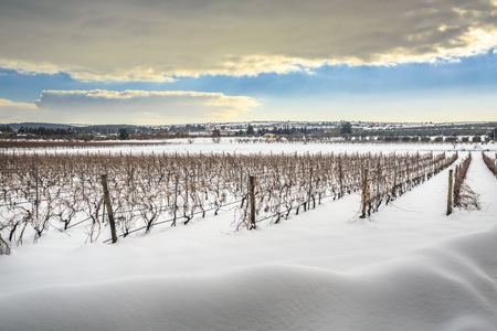 vineyard: Rare picture of Apuglia landscape with snow. Vineyard in winter