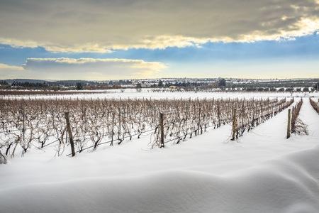 Rare picture of Apuglia landscape with snow. Vineyard in winter