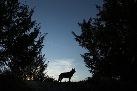 the walk: Picture of a wolf dog at dusk.