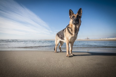 Picture of a German Shepherd posing on the beach. Imagens