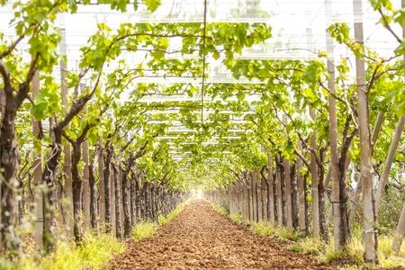 vinery: View of a vineyard in daylight. Stock Photo
