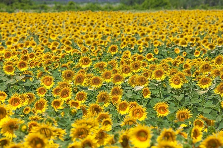 agrar: Picture of a field of sunflowers. Stock Photo