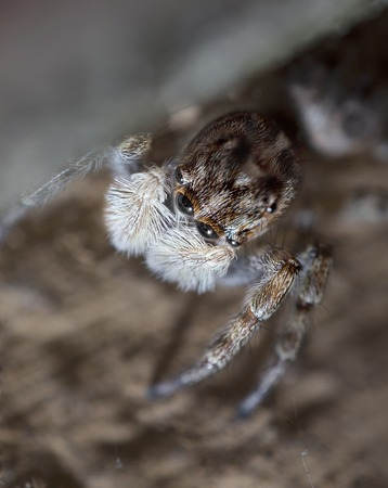 life extension: Macro portrait of a jumping spider.