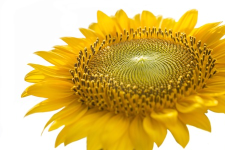 macro photography: Macro photography of a sunflower with white background. Stock Photo