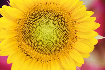 macro photography: Macro photography of a sunflower. Stock Photo
