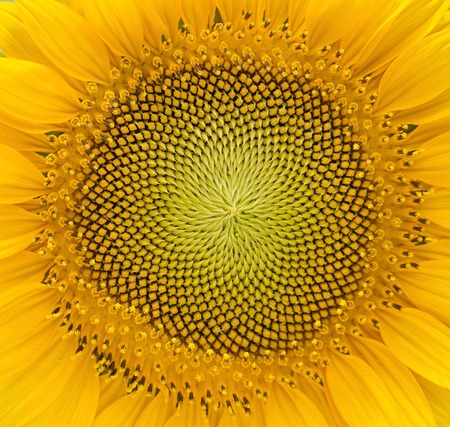 Macro photography of a sunflower.