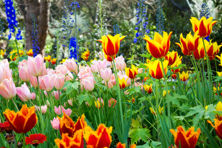 Magnificent light drenched fully bloomed garden full of color and a wide variety of tulip species. Stock Photo