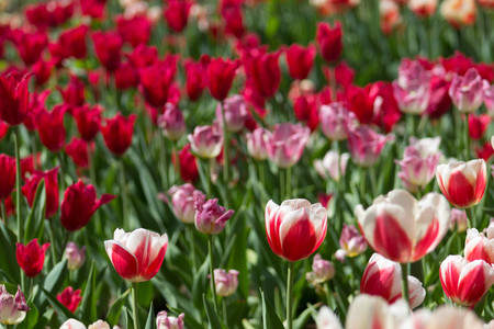 Magnificent sun drenched tulip field with an array of tulips ranging from pink, candy striped, purple, magenta, red, and white with lush green leaves.