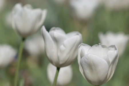 Beautiful white tulips with lovely light muted green stalks and leaves in a field or garden on a spring or summers day.
