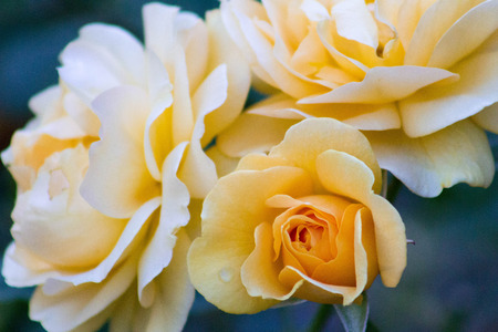 Exquisite yellow roses with dew drops in a blue subdued dusk light.